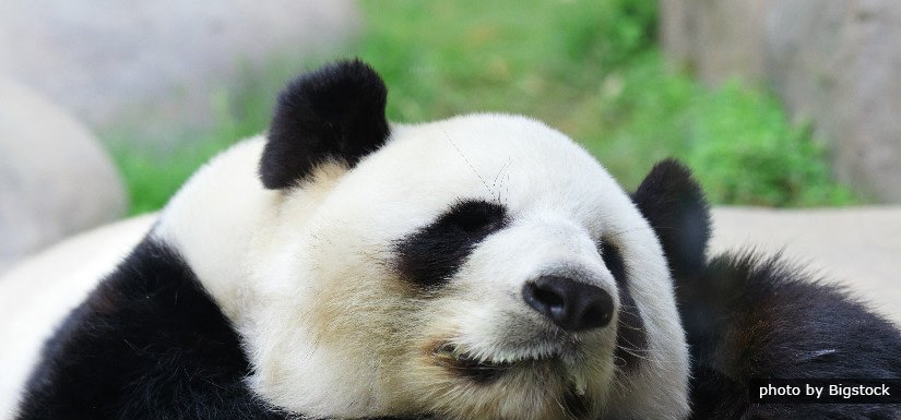 Panda in Chengdu-Chinarundreisen