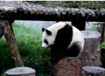Panda und Chengdu Highlights Tour