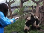 Panda Keeper Program und Chengdu Highlights Tour